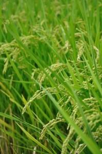 稲作イメージ2